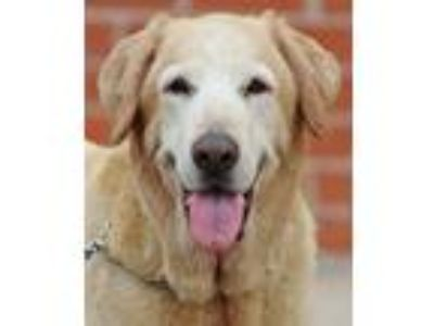Adopt Goldie von Locks a Tan/Yellow/Fawn - with White Labrador Retriever /