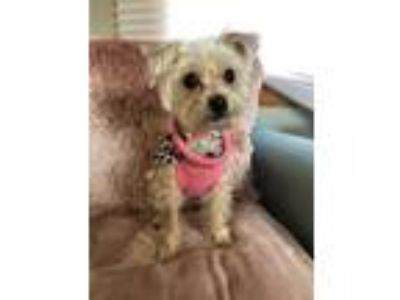 Adopt Roxy a Yorkshire Terrier, Mixed Breed