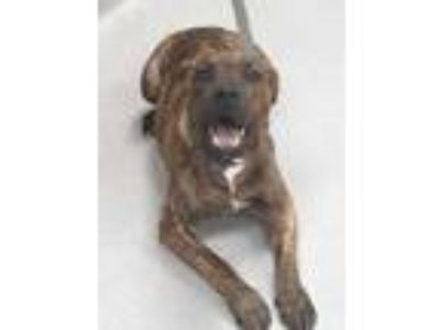 Adopt 41737935 a Brown/Chocolate American Pit Bull Terrier / Mixed dog in