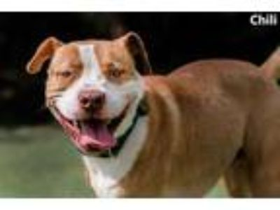 Adopt Chili a Tan/Yellow/Fawn American Pit Bull Terrier / Mixed dog in Cedar