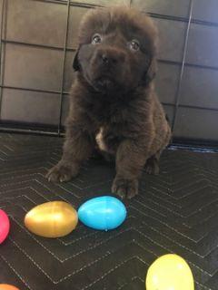 Newfoundland PUPPY FOR SALE ADN-67997 - AKC Newfoundland Puppies