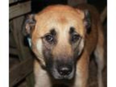 Adopt Minnie a Tan/Yellow/Fawn - with Black Black Mouth Cur / Shepherd (Unknown