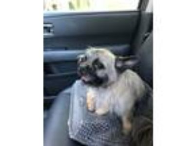 Adopt Gizmo a Cairn Terrier, Pug