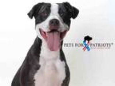 Adopt SHARKIE a Pit Bull Terrier, Mixed Breed