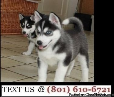 Adorable Siberian Husky Puppies Available