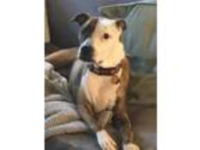 Adopt CInnamon ( OS ) a American Pit Bull Terrier dog in Whitestone