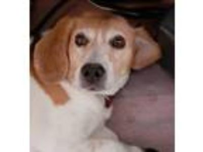 Adopt Kylo a Tricolor (Tan/Brown & Black & White) Beagle / Mixed dog in Las