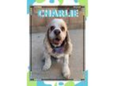 Adopt Charlie a White - with Tan, Yellow or Fawn Cocker Spaniel / Mixed dog in