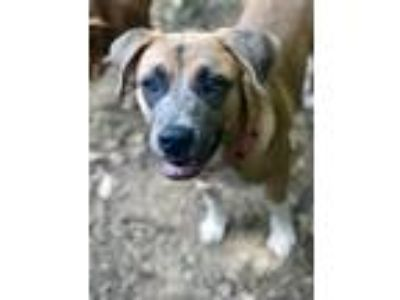 Adopt India a Black Mouth Cur, Labrador Retriever
