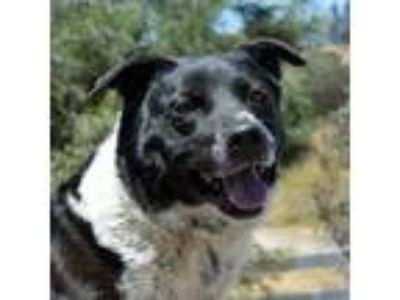 Adopt Gideon a Border Collie