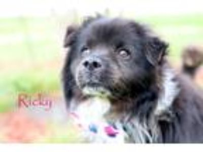 Adopt Ricky *Arriving May 18! a Black - with White Border Collie / Mixed dog in