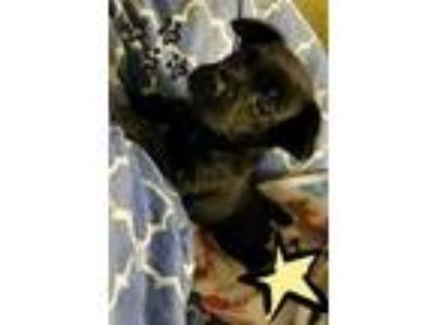 Adopt Sparky a Pug, Terrier