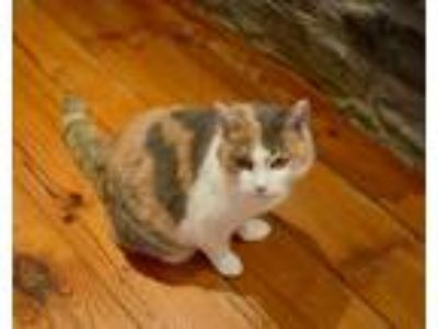 Adopt Callie a Calico / Mixed (short coat) cat in Washington, DC (21125339)