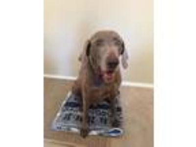 Adopt CHANCE - Houston a Weimaraner