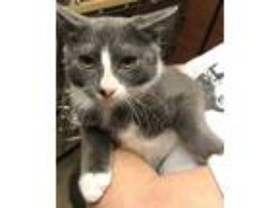 Adopt Sammy: Russian Blue mix Kitten a Gray or Blue (Mostly) Russian Blue /