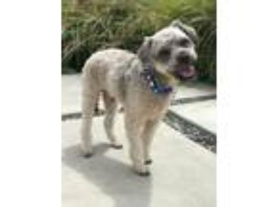 Adopt Zeke a Gray/Blue/Silver/Salt & Pepper Poodle (Miniature) / Mixed dog in