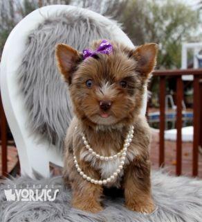 Yorkshire Terrier PUPPY FOR SALE ADN-107671 - Blue eye Sasha