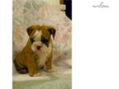 English Bulldogs for sale!
