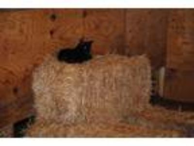 Adopt Best Barn Cats Ever! a Domestic Short Hair