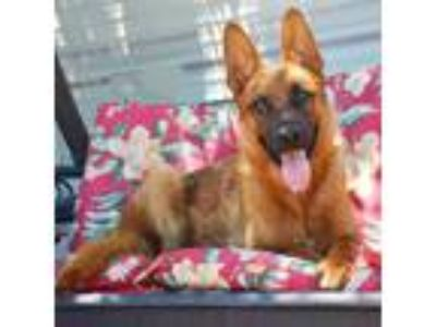 Adopt Bruno JR a German Shepherd Dog, Belgian Shepherd / Malinois