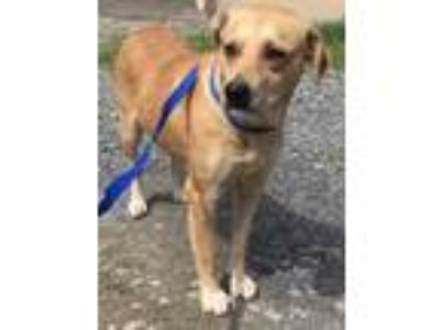 Adopt Debbie a Brown/Chocolate Labrador Retriever / Mixed dog in Yadkinville