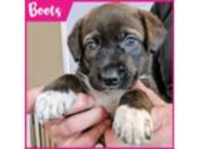 Adopt Boots a Brown/Chocolate - with Black Labrador Retriever dog in Palatine