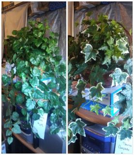 "Fake table or counter top plants-vines drape from 15 to 25"" down from basket"