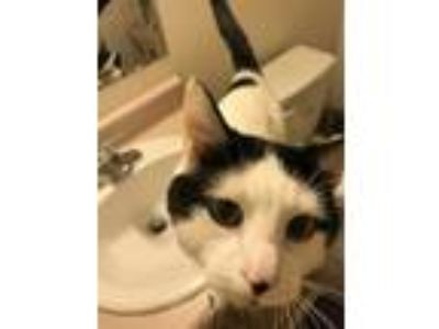 Adopt Blue a Black & White or Tuxedo Domestic Shorthair / Mixed cat in Wichita