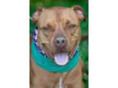 Adopt elvis/trouble/Rocco a Pit Bull Terrier
