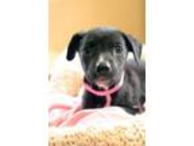 Adopt Eada a Black Labrador Retriever
