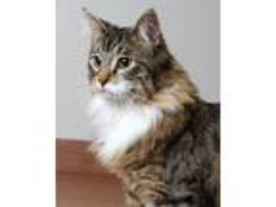 Adopt Kallio C180224 a Maine Coon, Domestic Long Hair