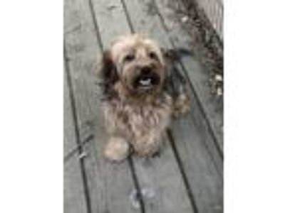 Adopt Scotty a Yorkshire Terrier