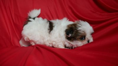 Shih Tzu PUPPY FOR SALE ADN-78028 - Tess