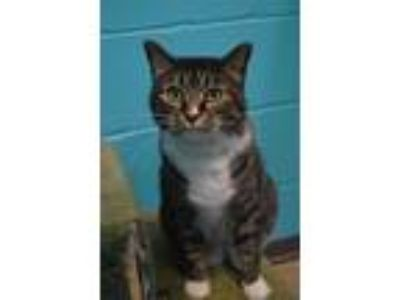 Adopt Lilly a Domestic Short Hair