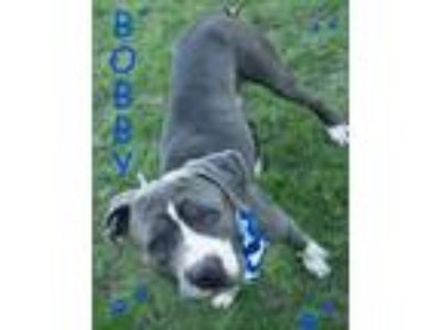 Adopt BOBBY a Staffordshire Bull Terrier