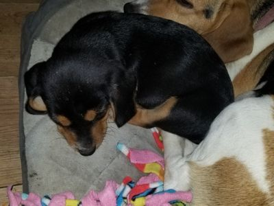 Beagle PUPPY FOR SALE ADN-101294 - Tri Colored 13 inch Beagles just 1 boy left