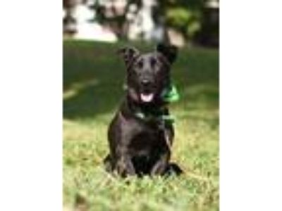 Adopt Lou a Black Corgi / Terrier (Unknown Type, Medium) / Mixed dog in Castro