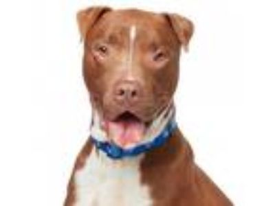 Adopt Bruce a Brown/Chocolate - with White Labrador Retriever / American
