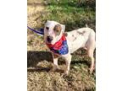 Adopt Barnie a White - with Brown or Chocolate Pit Bull Terrier / Mixed dog in