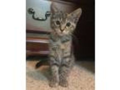 Adopt CHANDLER (Lottie) a Domestic Shorthair / Mixed cat in Woodstock