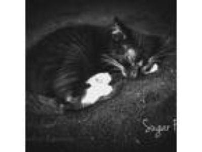 Adopt Sugar Foot a All Black Domestic Shorthair cat in Johnson city