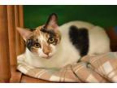 Adopt Whitney a Black & White or Tuxedo Domestic Shorthair (short coat) cat in