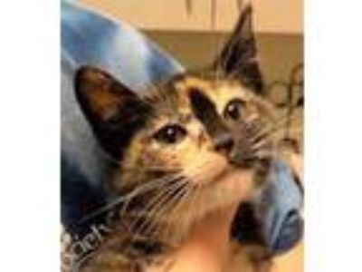Adopt Brooke a White Domestic Shorthair / Domestic Shorthair / Mixed cat in