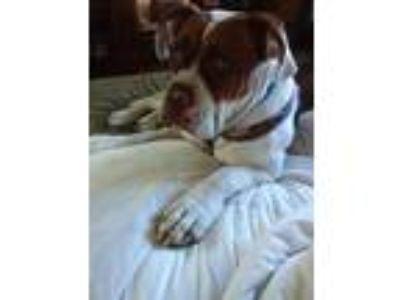Adopt Gracie a White - with Brown or Chocolate Boxer / Mixed dog in North