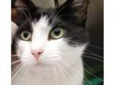 Adopt Leena a All Black Domestic Shorthair / Domestic Shorthair / Mixed cat in