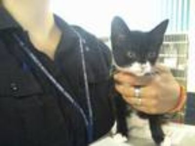 Adopt CANDY a Black & White or Tuxedo Domestic Shorthair / Mixed (short coat)