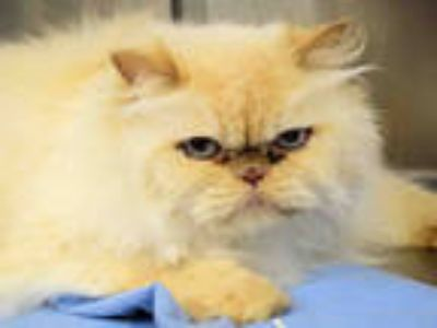 Adopt JAZZ a White Himalayan / Mixed (long coat) cat in Westminster