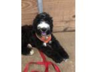 Adopt Dean a Black - with White Old English Sheepdog / Poodle (Standard) dog in