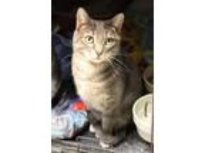 Adopt Tall Tail a Brown Tabby Domestic Shorthair (short coat) cat in Yukon