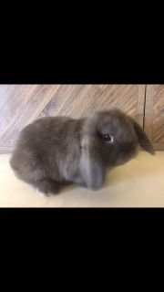 Chocolate Lop Bunny